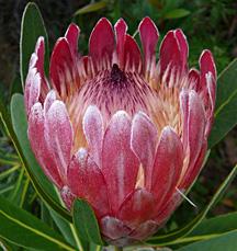 Flora 2 australia, dunsborough