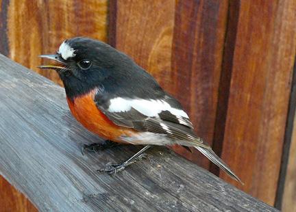 Dwellingup robin