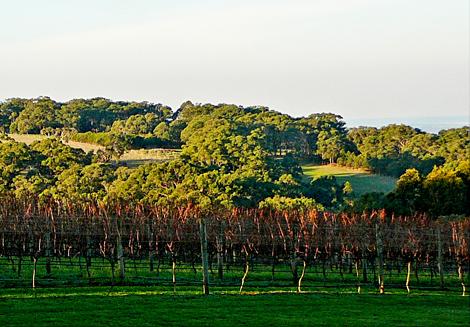 Vineyard at mornington