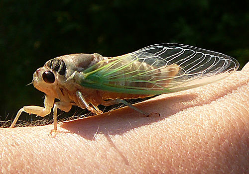 Cicada large res
