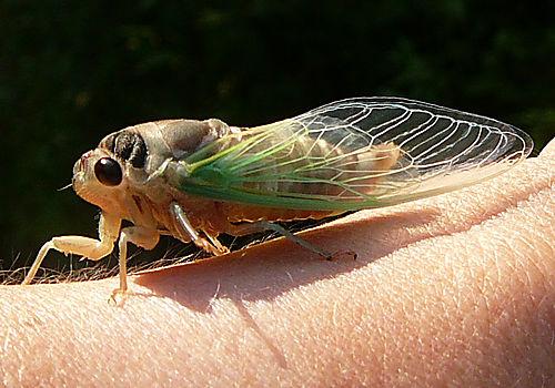 Cicada large res