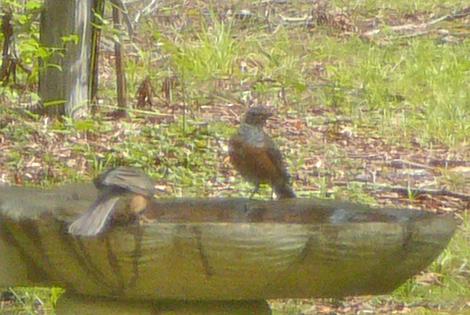 Robin bath 1