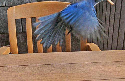 Scrub jay flight smaller