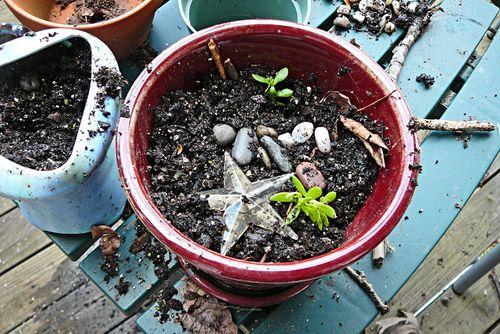 Azalea plants a star