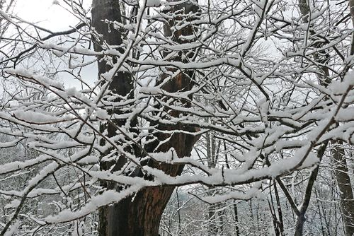Snow branches 1