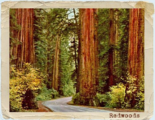 Redwood postcard