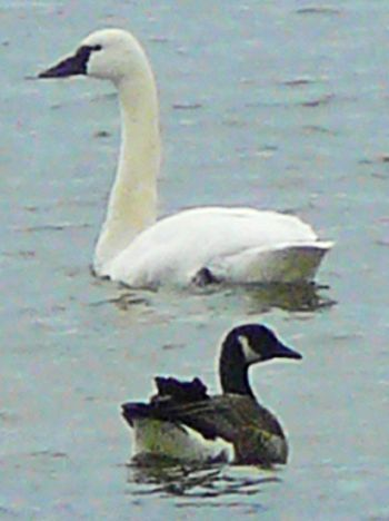 Tundra swan and canadian goose
