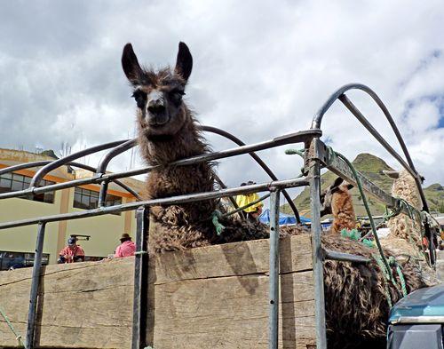 Zumbahua market llama