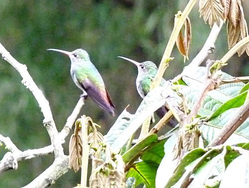 Hummingbird in mindo 5
