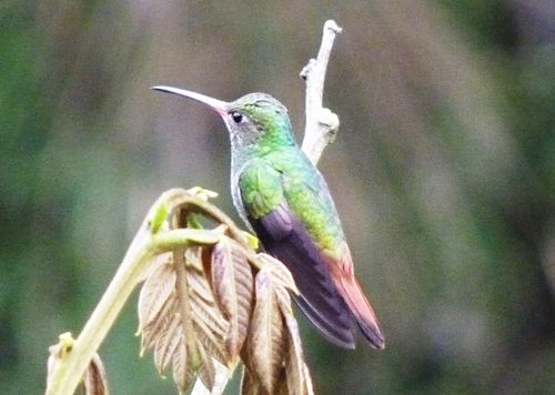 Hummingbird in mindo 1