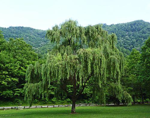 Nantahala tree