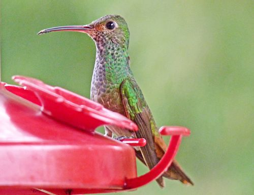 Hummingbird in mindo 4