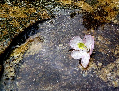 Panthertown rhododendron