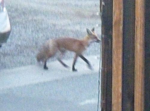 Mister fox 1
