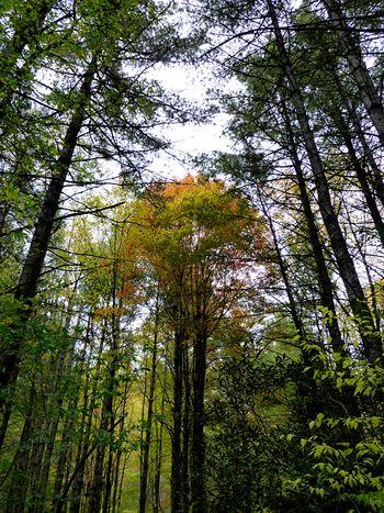 Panthertown tall trees macs gap