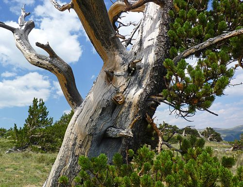 Bristlecone and nest smaller