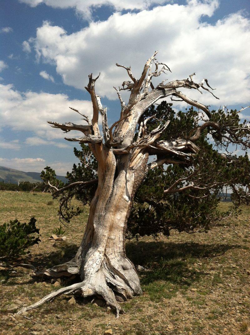 Tree king 1