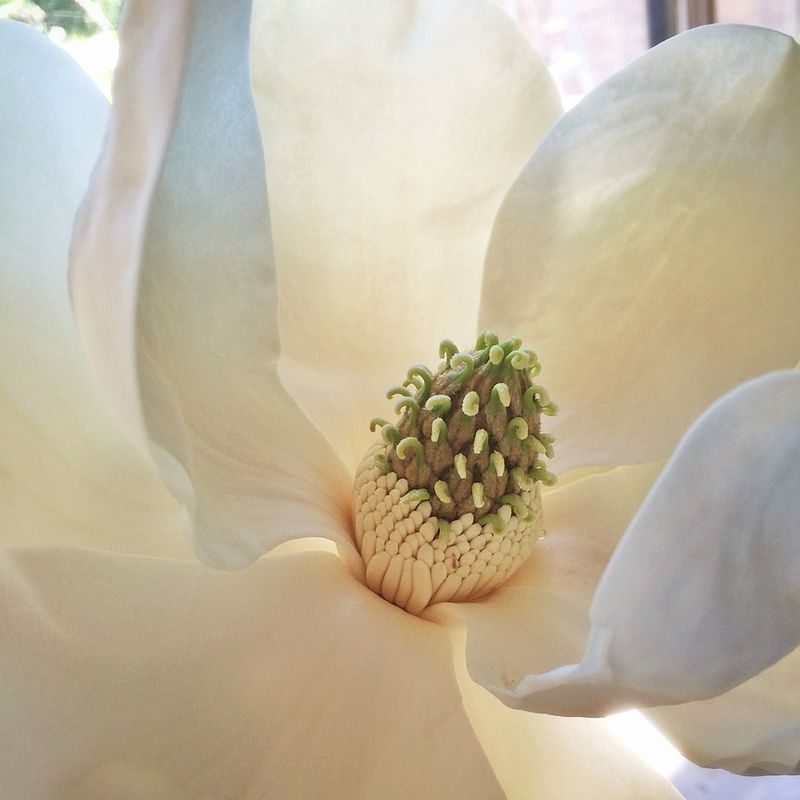 Magnolia detailed