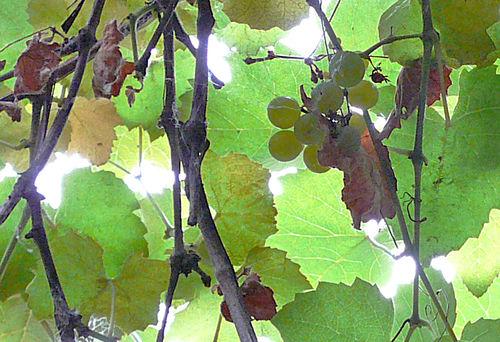 Sweet basil grapes 1