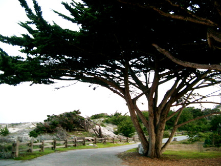Asilomar trees