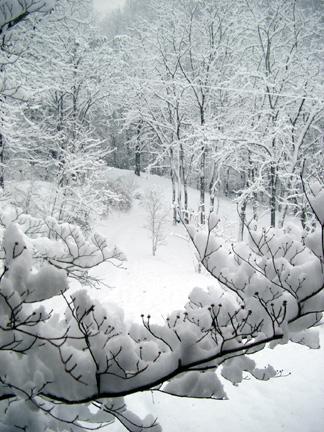 Homecoming snow dogwood