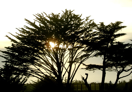 Late afternoon trees, Asilomar