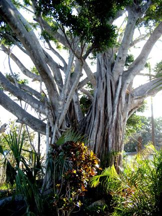Betsys Banyan Tree