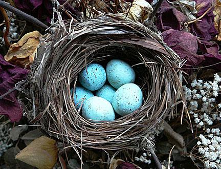 Nest_blue_eggssmaller_3