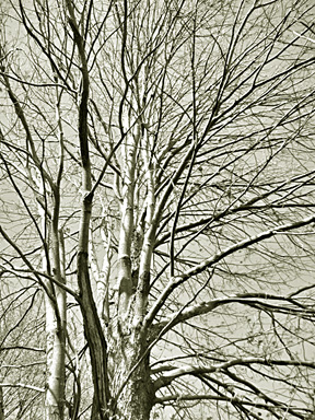 Branches_1_in_sepia