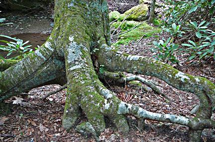 Goshen_tree_trunk