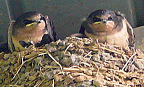 Swallow_babies_closer_and_smaller