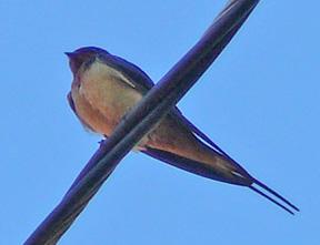 Swallow_smaller