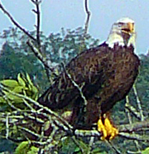 Bald_eagle_talking_cropped