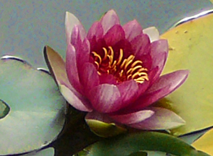 Water_flower_for_orn