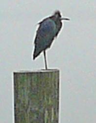 Dock_bird_for_orn