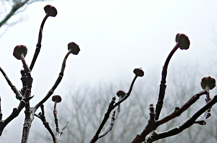 Dogwood_branch