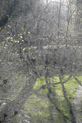 Dogwood_morning_shadows_for_orn_2