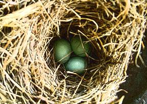 Bluebird_nest_for_orn