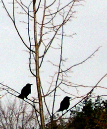 Crows_for_orn