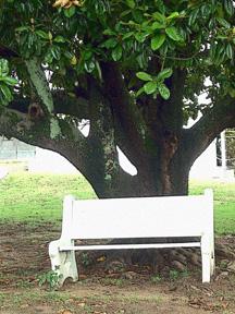 Downtown_magnolia_tree