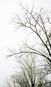 Tree_branches_in_fog_for_orn