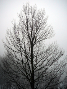 Tree_in_fog_for_orn